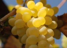 białe z winogron Fotografia Royalty Free