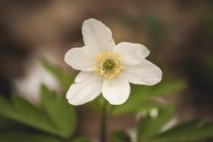 Białego anemonowego nemorosa lub drewnianego anemonu kwiat Obrazy Royalty Free
