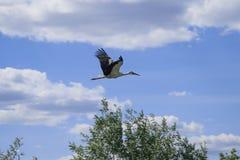 białego bociana latanie przez niebieskiego nieba fotografia stock