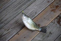 Białego crappie ryba na doku Obraz Royalty Free
