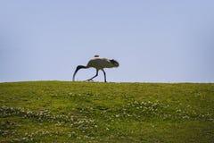 Białego ibisa Ptasi odprowadzenie na trawie Obrazy Stock