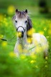 Białego konia portret w polu Zdjęcia Stock