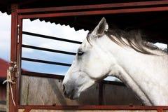 Białego konia ` s portret Fotografia Royalty Free