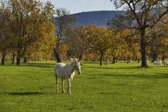Białego konia spaceru kontrasta przedni silni cienie Obrazy Stock