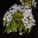 Białego kwiatu bonkreta Zdjęcia Royalty Free