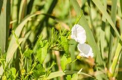 Białego kwiatu Calystegia sepium Obraz Royalty Free