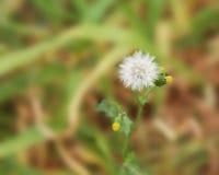Białego kwiatu dandelion Zdjęcia Royalty Free
