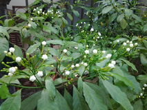 Białego kwiatu drzewo Obraz Stock