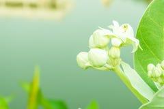 Białego kwiatu drzewo w ogródzie Obraz Stock