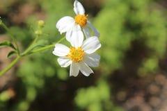Białego kwiatu kwitnienie Zdjęcia Royalty Free