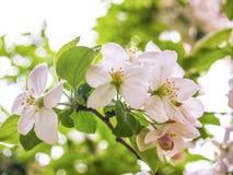 Białego kwiatu kwitnienie na drzewie Fotografia Royalty Free