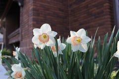 Białego kwiatu narcyz w ogródzie Zdjęcie Royalty Free