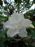 Białego kwiatu Thailand yala Zdjęcie Royalty Free