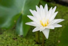 Białego lotosu waterflower Fotografia Stock