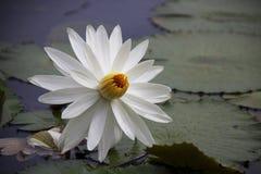 Białego Lotus kwiat Fotografia Stock