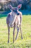 Białego ogonu rogacza bambi Zdjęcia Royalty Free