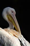Białego pelikana portret obraz stock