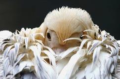 Białego pelikana portret zdjęcia royalty free