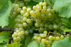 białego wina winogrona Fotografia Stock
