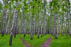 Białej brzozy drzewa w lesie w lecie, zielona trawa Zdjęcia Stock