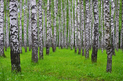 Białej brzozy drzewa w lesie w lecie, zielona trawa Fotografia Stock