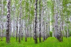 Białej brzozy drzewa w lesie w lecie, zielona trawa obrazy stock