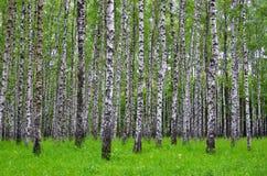 Białej brzozy drzewa w lesie w lecie, zielona trawa zdjęcia royalty free