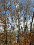 Białej brzozy drzewa wczesna wiosna Obrazy Stock