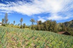 Białej cebuli gospodarstwo rolne w górze Fotografia Royalty Free