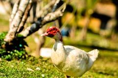 Białej kaczki czerwony nos Obrazy Royalty Free