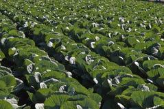 Białej kapusty plantacja Zdjęcia Stock