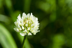 Białej koniczyny kwiat Fotografia Royalty Free