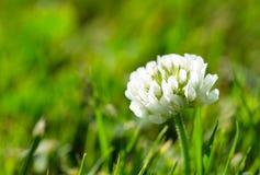 Białej koniczyny kwiat Zdjęcie Stock