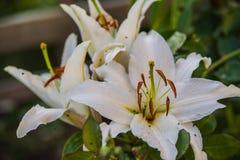 Białej lelui kwiat Obrazy Stock