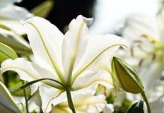 Białej lelui kwiat Fotografia Stock