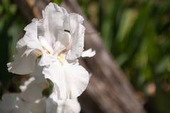 Białej lelui kwiat Zdjęcie Stock
