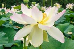 Białej lelui kwiat Zdjęcia Stock
