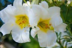 Białej lelui kwiat w ogródzie Zdjęcie Stock