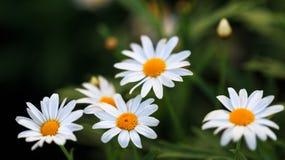 Białej stokrotki kwiat Obrazy Royalty Free