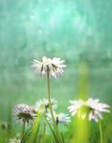 Białej stokrotki kwiat Zdjęcia Royalty Free