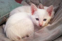 Biała figlarka z niebieskimi oczami i menchia nosem siedzi na koc i kiblu zdjęcia stock