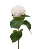 Biała hortensja Zdjęcie Royalty Free
