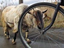 Biała kózka na drodze Fotografia Stock