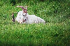 Biała kózka w trawie Zdjęcia Royalty Free