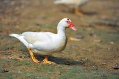 Biała kaczka Obrazy Stock