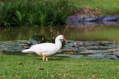 Biała kaczka chodzi Obraz Stock
