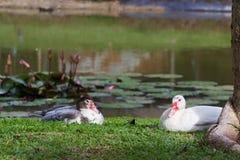 Biała kaczka i czarna kaczka Zdjęcie Stock