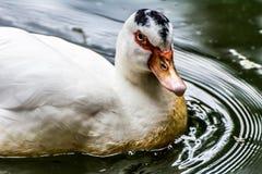 Biała kaczka na jeziorze Zdjęcie Stock