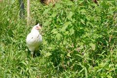 Biała karmazynka z Zielonym ulistnieniem Zdjęcie Stock