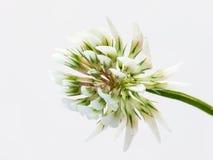 Biała koniczyna Fotografia Stock